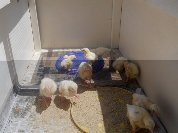Chickens hatched using the Incubator